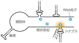神経細胞の局所的タンパク質合成の模式図