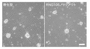 マウス神経培養細胞