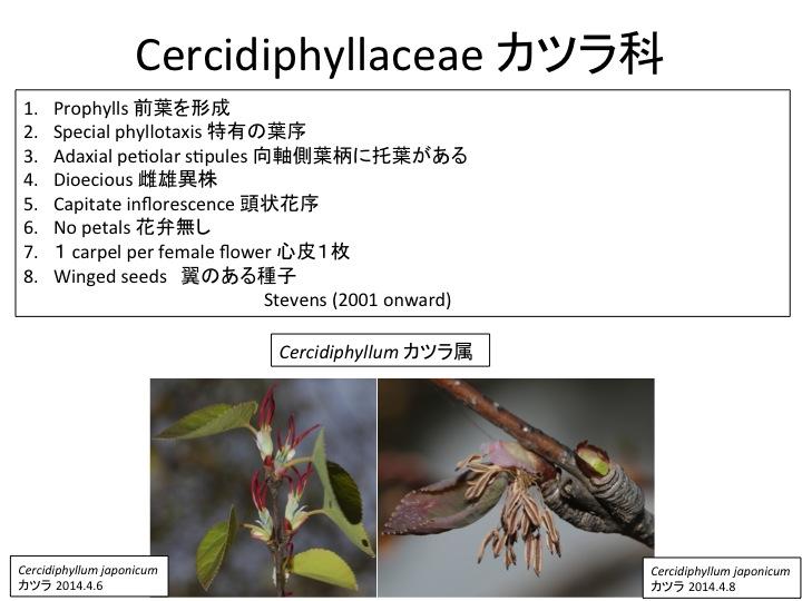 カツラ (植物)の画像 p1_20