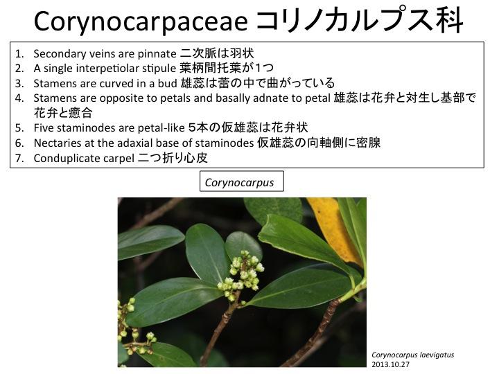 Corynocarpus laevigatus, Corynocarpaceae