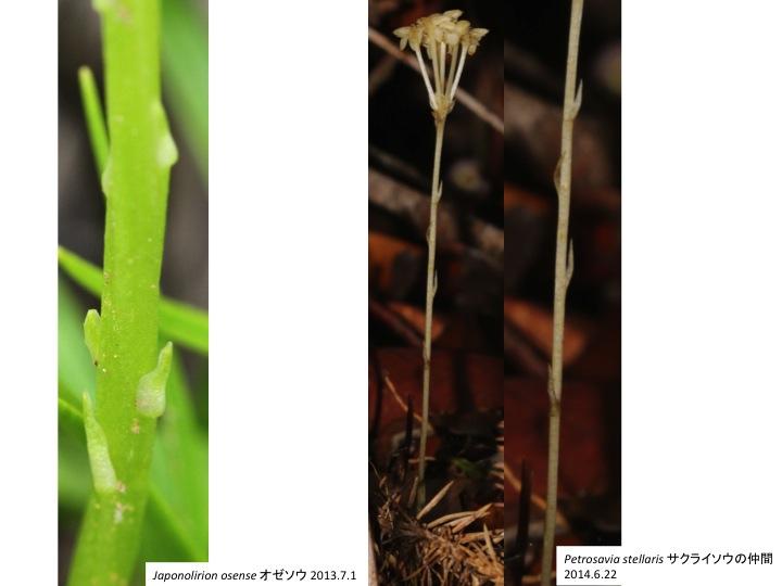 Petrosaviaceae サクライソウ科 Japonolirion オゼソウ属 Petrosavia サクライソウ属