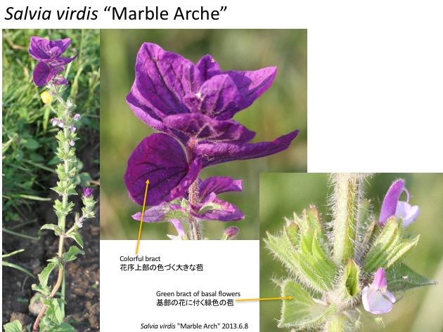 "Salvia virdis ""Marble Arche"""