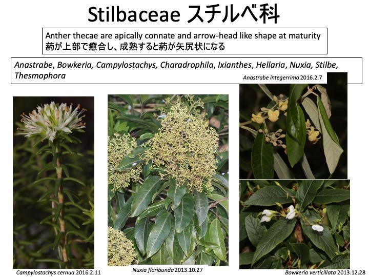 Stilbaceae スチルベ