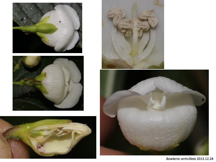 Bowkeria Stilbaceae ボーケリア スチルベ