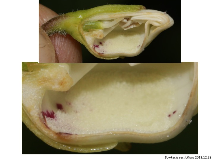 Bowkeria Stilbaceae ボウケリア スチルベ