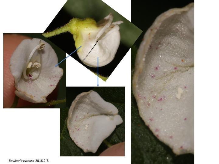 Bowkeria Stilbaceae ボウケリア ボーケリア スチルベ