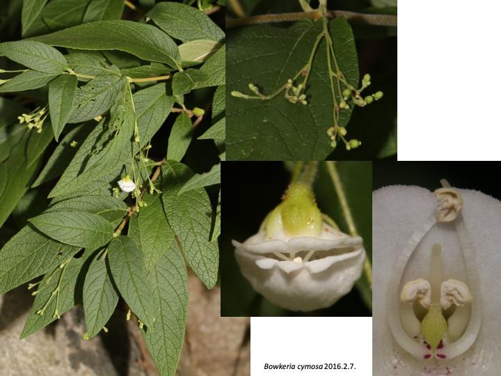 Bowkeria Stilbaceae ボウケリア スチルベ ボーケリア