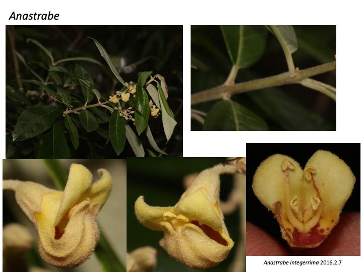 Anastrabe Bowkeria Stilbaceae アナストラベ ボーケリア ボウケリア スチルベ