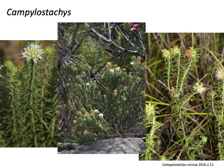 Campylostachys Stilbaceae カンピロスタキス スチルベ