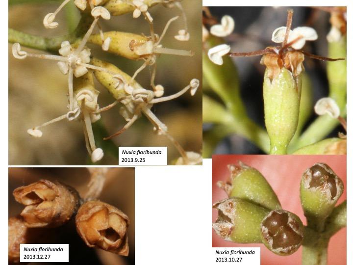 Nuxia Stilbaceae ヌクシア スチルベ