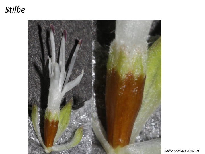 Stilbe Stilbaceae スチルベ