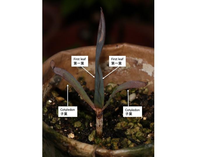 Welwitschia キソウテンガイ