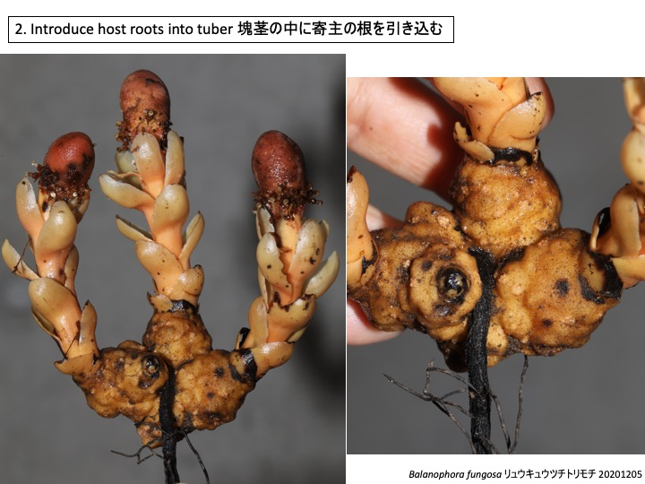 Balanophora ツチトリモチ リュウキュウツチトリモチ