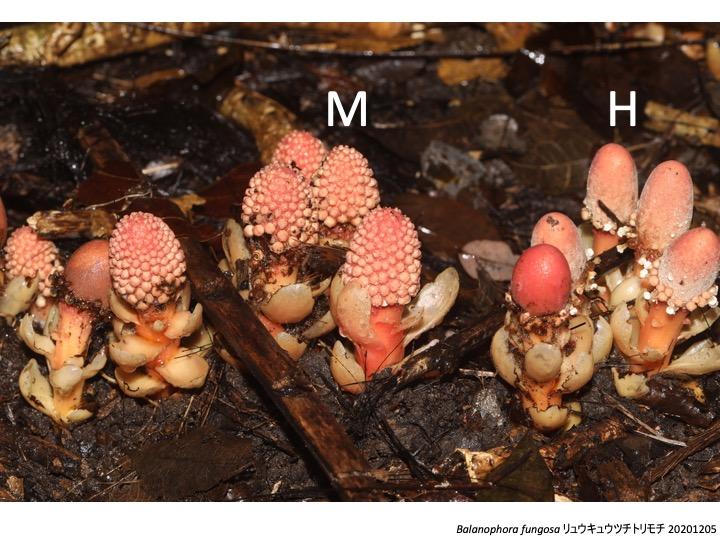 Balanophora ツチトリモチ