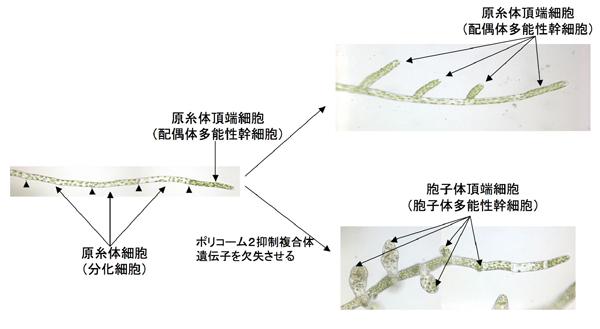 図3:ヒメツリガネゴケの ...
