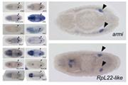 ショウジョウバエの胚生殖巣で活性化する遺伝子の網羅的カタログ化に成功 ~ 卵・精子の発生プログラム解明のヒントに ~