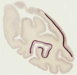 セロトニンの視覚に果たす役割を解明 ~鮮明な視覚像を得るための脳の仕組み~