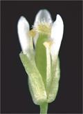 植物の受精を制御する因子を発見 ~植物のオスとメスの協調性は遺伝子の重複によって進化した~