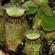 食虫植物フクロユキノシタのゲノム解読で食虫性の進化解明への糸口を開く
