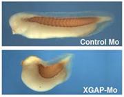動物の形づくりの基本ステップ「細胞どうしの滑り込み運動」の鍵となる因子XGAPを発見