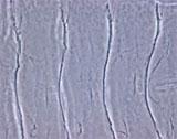 アクチン細胞骨格を制御する短鎖ペプチド遺伝子を発見 ~細胞形態を決定する最小の役者~