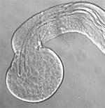 精子の幹細胞を維持する機構を解明 ~幹細胞を維持する細胞(ニッチ)の形成機構を明らかに~