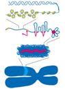 長いDNAをコンパクトに収納する ~染色体凝縮の謎にメス~
