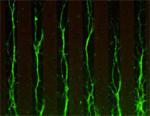 神経軸索の正しい進路選択には細胞骨格である微小管の安定化制御が必須である