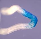 幹細胞の寿命は意外にも短かった!<br> ~マウスの精子幹細胞は次々と入れ替わる~