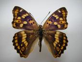 蝶類コムラサキ亜科はベーリング海峡を経由して、ユーラシアから新大陸へ繰り返し分布を拡大した