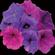 青から赤へ 〜ペチュニアの花色を調節する遺伝子の発見〜
