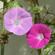花の色素合成に関わり、花の色を濃くする新しいタンパク質を発見 〜新しい価値を持った花や果実の品種改良につながる可能性〜