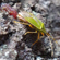 クヌギカメムシの共生細菌入り卵塊ゼリーの機能を解明 〜真冬の雑木林で育つ幼虫の秘密〜