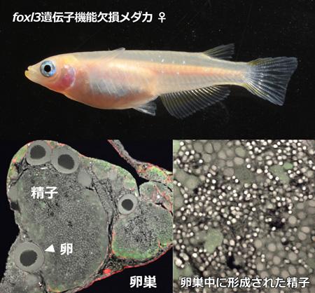 medaka_fig_japan.jpg
