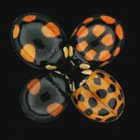 テントウムシの多様な斑紋を決定する遺伝子の特定に成功