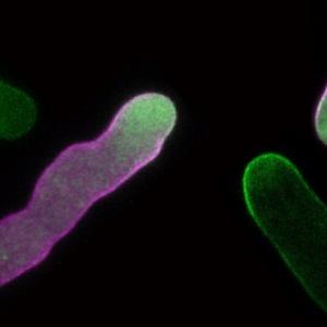 花粉管を長く伸ばすために必要な膜交通のしくみを発見