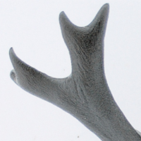 カブトムシの角(ツノ)形成遺伝子の特定に成功
