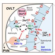 食塩の過剰摂取によって高血圧が発症する脳の仕組みを解明 ~新たな治療薬の開発に期待~