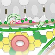 精子幹細胞の数を一定に保つ新たな仕組みを発見