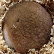 冬眠ハムスターの白色脂肪組織に冬支度の秘密をみる ~肥満や生活習慣病予防へも新たな視座~