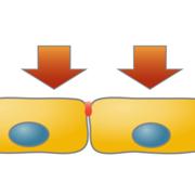 力による刺激は細胞にどのような応答をもたらすのか 〜力学刺激によって生じるツメガエル胚細胞内のリン酸化の変化の詳細が明らかに〜