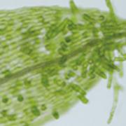 単独で普通の細胞を直に幹細胞に変えるステミン遺伝子の発見
