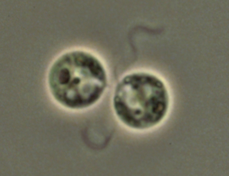 クラミドモナス(学名: <i>Chlamydomonas reinhardtii</i>)