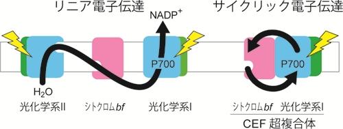 光合成系の環境適応:サイクリック電子伝達(基生研・環境光生物学)