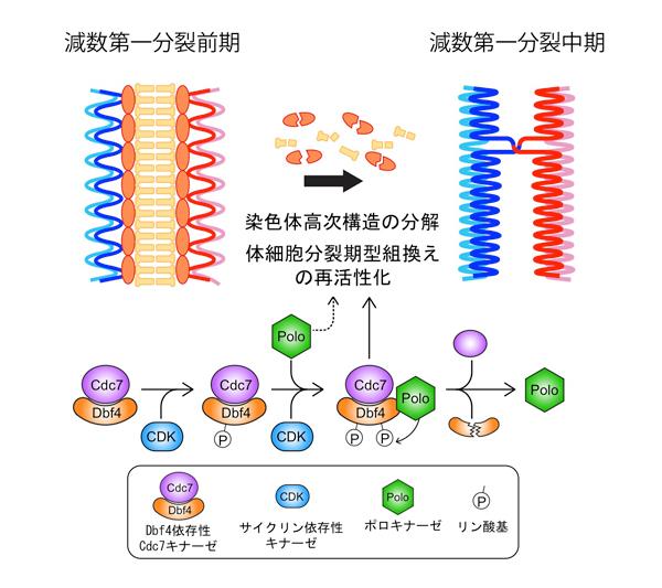 プレスリリース - 遺伝子撹拌装置をタイミング良く染色体から取り外す ...