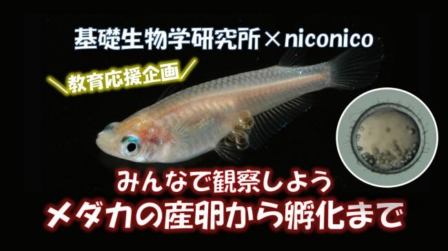 niconico-NIBB-medaka.jpg