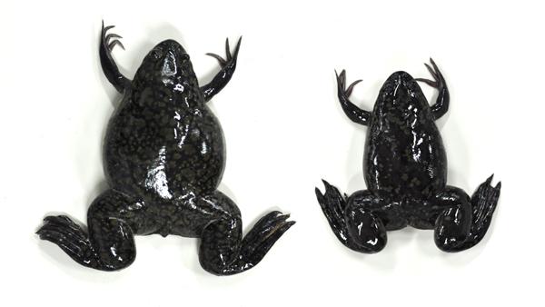 アフリカツメガエル (学名: <i>Xenopus laevis</i>)